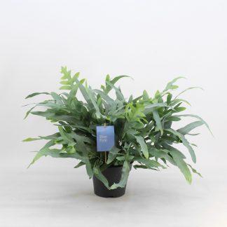 Phlebodium Blue Fern 50cm