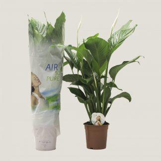 Spathiphyllum 'Sweet Sebastiano'