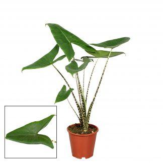 Alocasia Zebrina 75cm