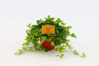 Peperomia obtusifolia groen klein