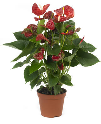Anthurium Million flowers breed